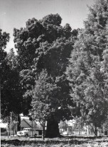 P 11, Public Colonial Lunatic Asylum Site Marked by 1 of 2 Kurrajong Trees looking NE twds Greenh
