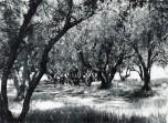 P 15 1963, Olive Grove