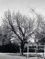 P 30, 1964 July 14, Mulberry Tree in Winter